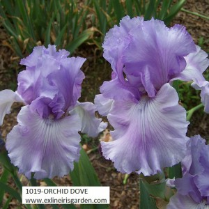 1019-ORCHID DOVE-2
