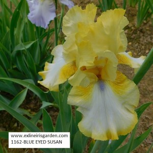 1162-BLUE EYED SUSAN