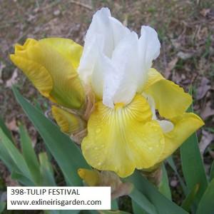 398-TULIP FESTIVAL