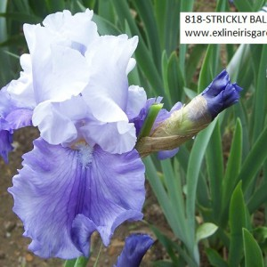 818-STRICKLY BALLROOM