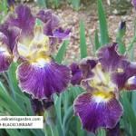 IB029-BLACKCURRANT