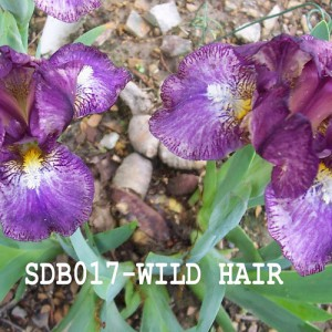 SDB017-Wild Hair