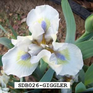 SDB026-GIGGLER