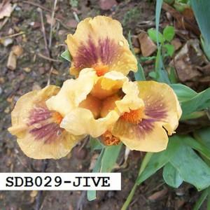 SDB029-JIVE