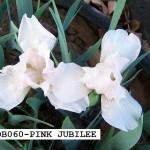 SDB060-PINK JUBILEE-1